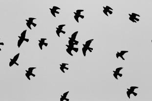 pigeons-569112_640